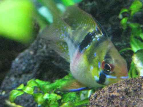 ... a platy (Rasbora espei). However, two of my fish appear to be pregnant, ...
